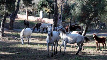 Savcılığa 'kayıp atları' bildiren veteriner işleri müdürü hakkında idari soruşturma başlatıldı