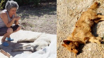 Muğla Bodrum'da zehirli kıyma ile köpekleri öldürdüler