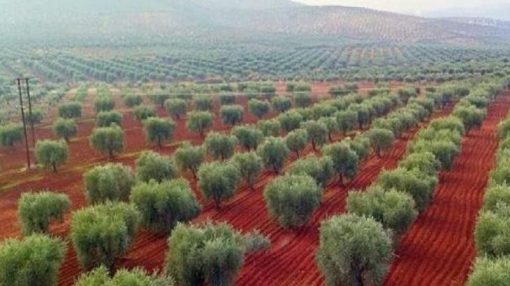 AKP'nin desteklediği cihatçılar, Suriye'de 1.5 milyon ağacı kestiler